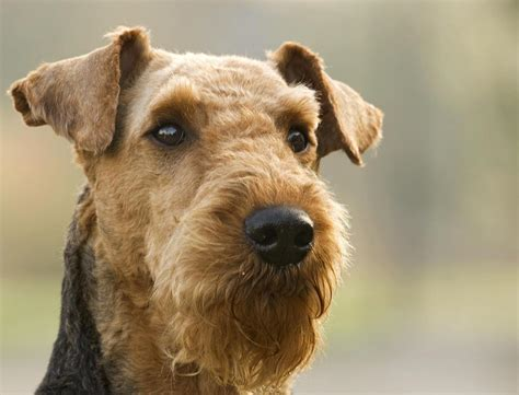 Airedale Terrier Breed Info and Care