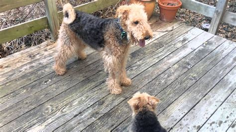 Airedale Terrier & Welsh Terrier Martin - YouTube
