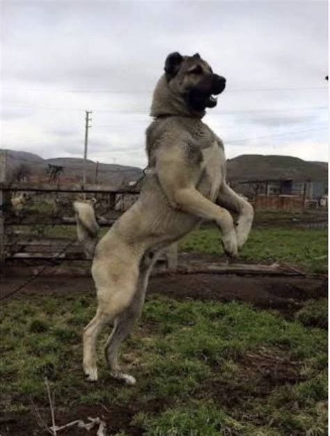 What are some opinions about the Kangal dog? - Quora