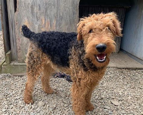 Airedale Terrier Breed Information Guide: Quirks, Pictures