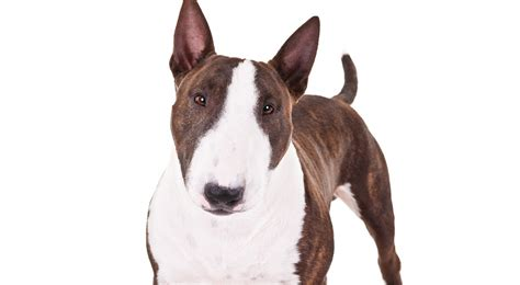Miniature Bull Terrier Dog Breed Information - American