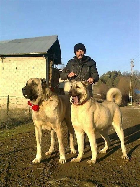 Which dog is more powerful, a Kangal or German Shepherd