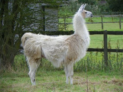 Llama (Lama glama) | Very often we see Alpacas on farms