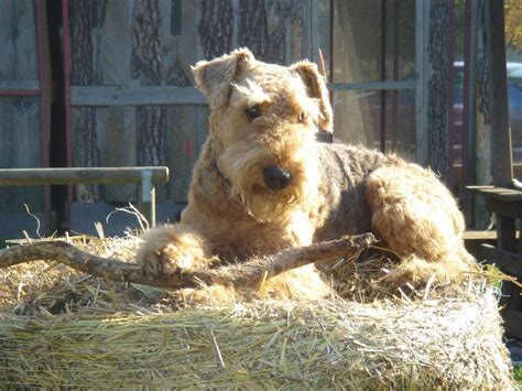 Airedale Terrier Dog Breed Information, Puppies & Pictures