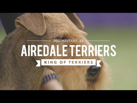 Airedale Terrier Dog Breed | Dogs 101 - AIRDALE TERRIER