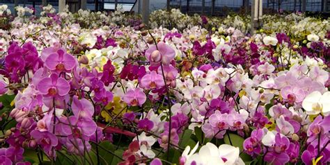 7 Ways Moth Orchids Help You Win | Costa Farms