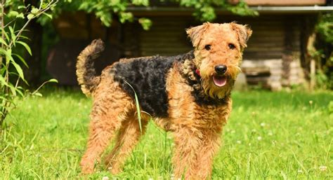 Dogs Of Instagram: Airedale Terrier - The Fresh Toast